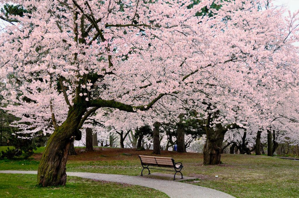 cherry blossoms. shop #ART decor celebrity photography
